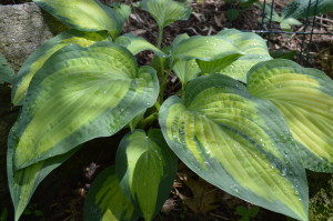 """The hosta, Paul's Glory, is shown after a recent rainfall in Cedar Rapids. The shade-loving plants grow in a wide variety of colors, textures, shapes and sizes, far beyond the traditional """"green"""" hosta. (photo/Cindy Hadish)"""