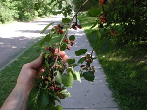 Learn how to forage for wild edibles and help build an edible forest in Iowa City