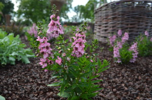 Angelonia Serenita Pink is one of the varieties of flowers planted in the All-America Selections Butterfly Garden at Noelridge Park to attract butterflies. (photo/Cindy Hadish)