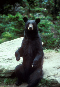 Black bear photo/Wikipedia