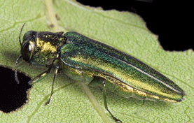 Emerald Ash Borer photo/Iowa State University Extension