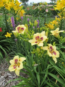 Daylilies, liatris and other lilies bloom in the rural Linn County gardens of Zora Ronan. The gardens will be open for viewing on two weekends in July. (photo/Zora Ronan)