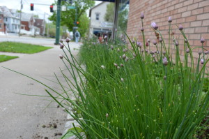 Chives, tarragon and other herbs that are used in specials grow right outside the Bluebird Diner in Iowa City. (photo/Cindy Hadish)