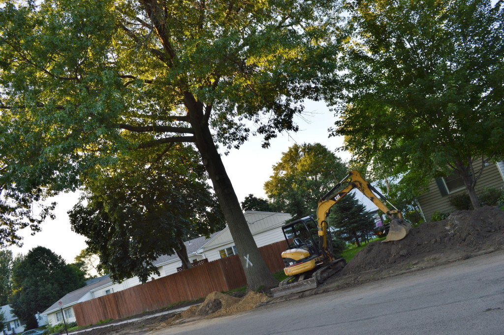 This mature pin oak will be removed in coming days to make way for a sidewalk in Cedar Rapids, Iowa. (photo/Cindy Hadish)