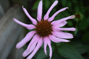 Purple coneflower photo/Cindy Hadish