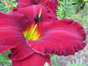 August events in Eastern Iowa include daylily sale, garden tour, tomato tasting