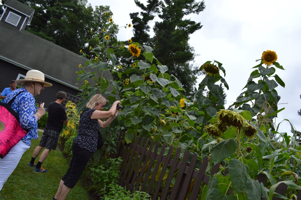 Giant sunflowers grow in one of the gardens at Brucemore in Cedar Rapids, Iowa. (photo/Cindy Hadish)