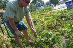 Ed Thornton harvests vegetables from his Cedar Rapids garden on Sunday, Aug. 3, 2014. The city has ordered him to remove the garden by Aug. 6. (photo/Cindy Hadish)