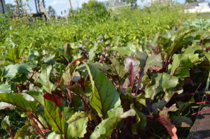 Beets and other vegetables flourish in the garden started by Ed Thornton. (photo/Cindy Hadish)