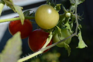 Temperatures are just one factor that can play a role in the ripening of your tomatoes. (photo/Cindy Hadish)