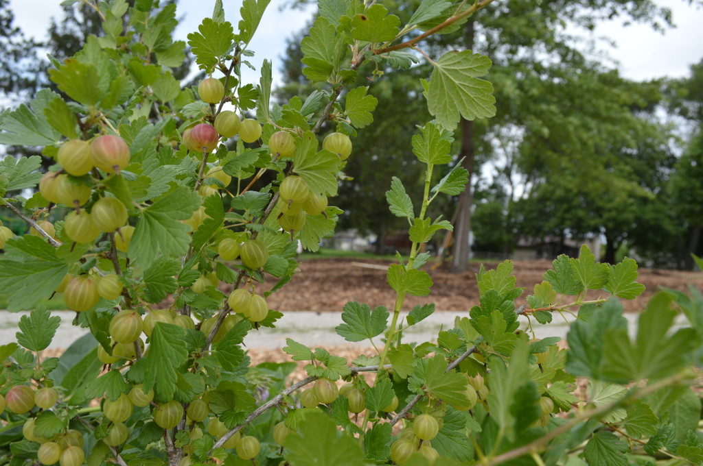 Gooseberries gtow plump earlier this summer at the Wetherby Park Edible Forest in Iowa City. (photo/Cindy Hadish)