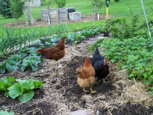 Cool coop; City Council to look at chicken changes and teaching garden in North Liberty
