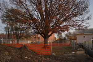 Chain-link fencing protects this tree, in southeast Cedar Rapids, from the impacts of construction. (photo/Cindy Hadish)