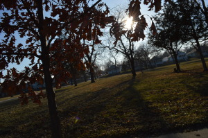 Sun filters through the leaves of a young oak tree in the Czech Village neighborhood in December 2014. No inventory has been taken of the varieties and conditions of trees to be removed along with city infrastructure in the neighborhood. (photo/Cindy Hadish)