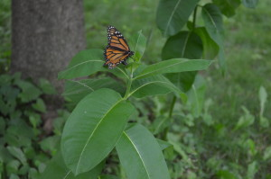 New Iowa collaboration provides hope for monarch butterflies
