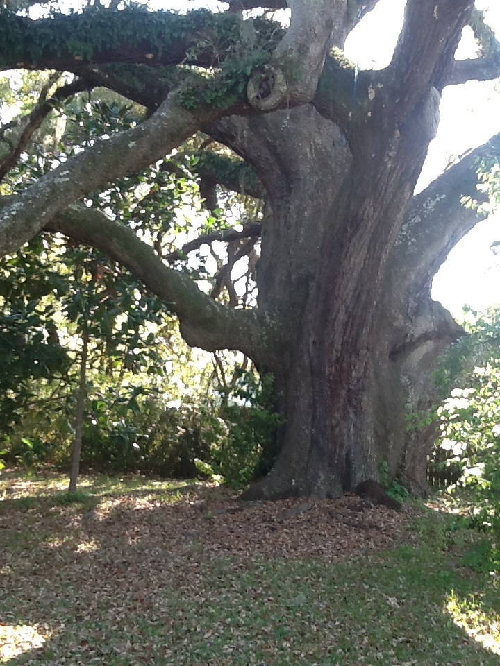 The Ruskin Oak is shown in Ocean Springs, Mississippi. (photo/Lynette Richards)