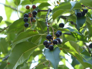 The fruit of the black cherry tree is a valuable food source for birds and other wildlife. (photo/Trees Forever)