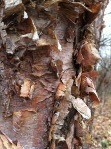 River birch beautifies landscapes with its distinctive bark. (photo/Trees Forever)