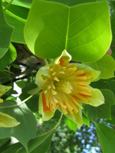 The tulip tree is a close relative of the magnolia. (photo/Trees Forever)