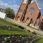 Cabbage is planted in rows across from St. Wenceslaus Church in Cedar Rapids, Iowa. (photo/Cindy Hadish)