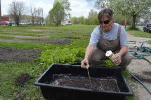 Sonia Kendrick adds a natural fertilizer to the water for the cabbage seedlings planted across from St. Wenceslaus Church. (photo/Cindy Hadish)