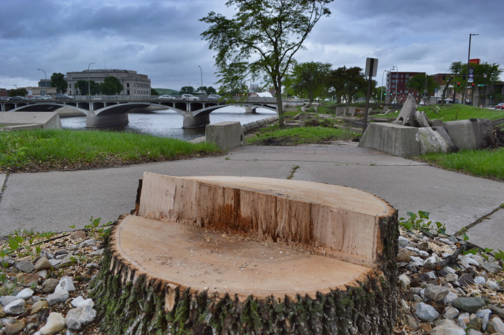 Twenty trees were removed this week along the riverfront in Cedar Rapids, including several that appeared to be away from the construction zone. The trees are being removed for a park. (photo/Cindy Hadish)