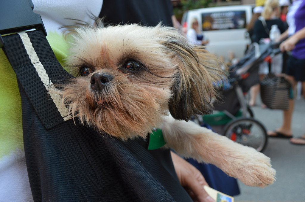 Zoey, a 5-month-old Pekachi, was one of many dogs at the Downtown Farmers Market on June 6, 2015. (photo/Cindy Hadish)