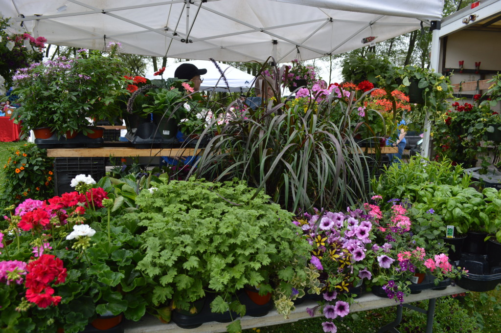 Plants from Prochaska Greenhouse were sold during the first Village Farmers Market on June 13, 2015. (photo/Cindy Hadish)
