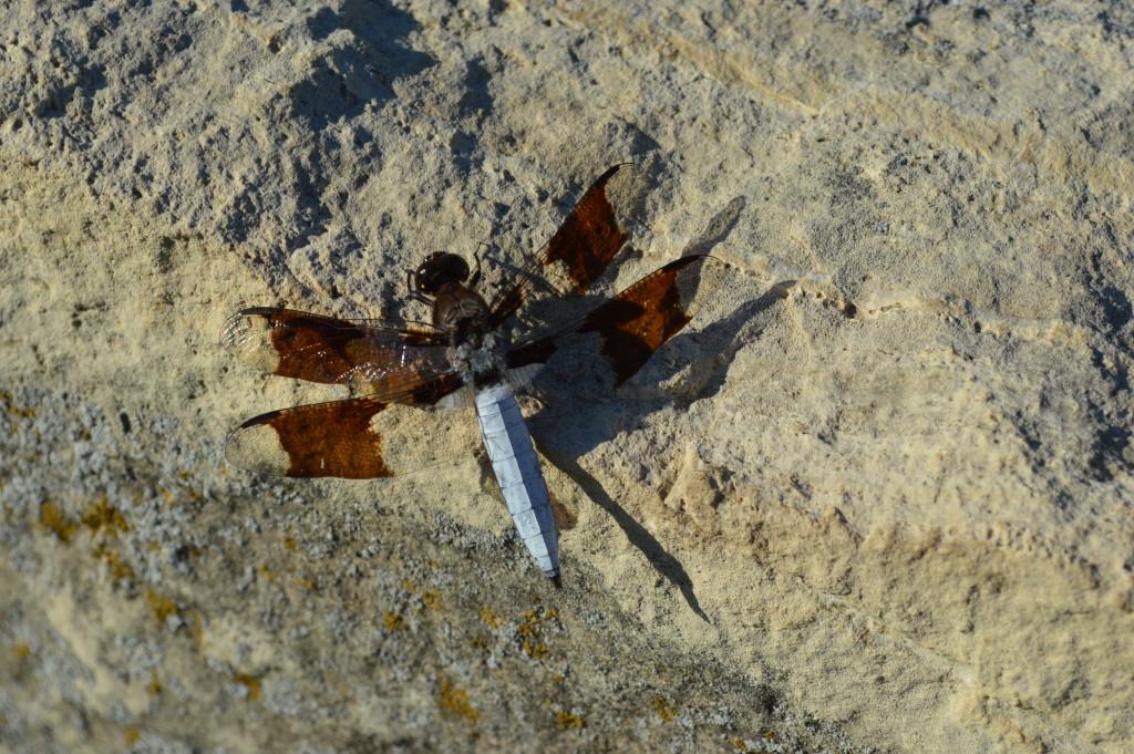 n dragonfly