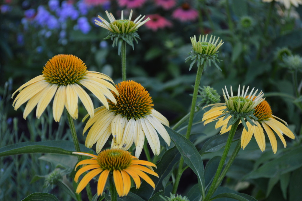 n yellow coneflower