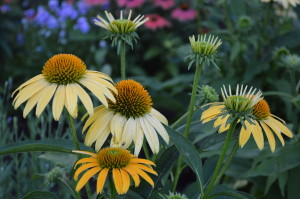 Coneflower are among the plants in bloom at the Noelridge Park gardens in Cedar Rapids, Iowa. (photo/Cindy Hadish)