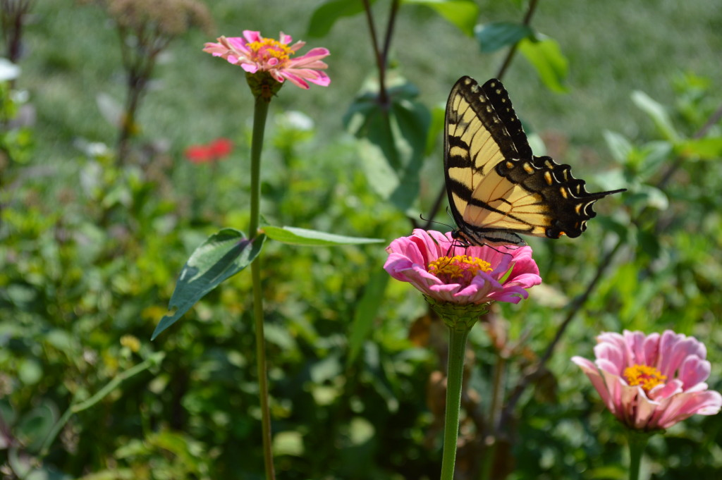 A yellow swallowtail alights on a zinnia in the formal garden during the 2015 Brucemore Garden & Art Show. (photo/Cindy Hadish)