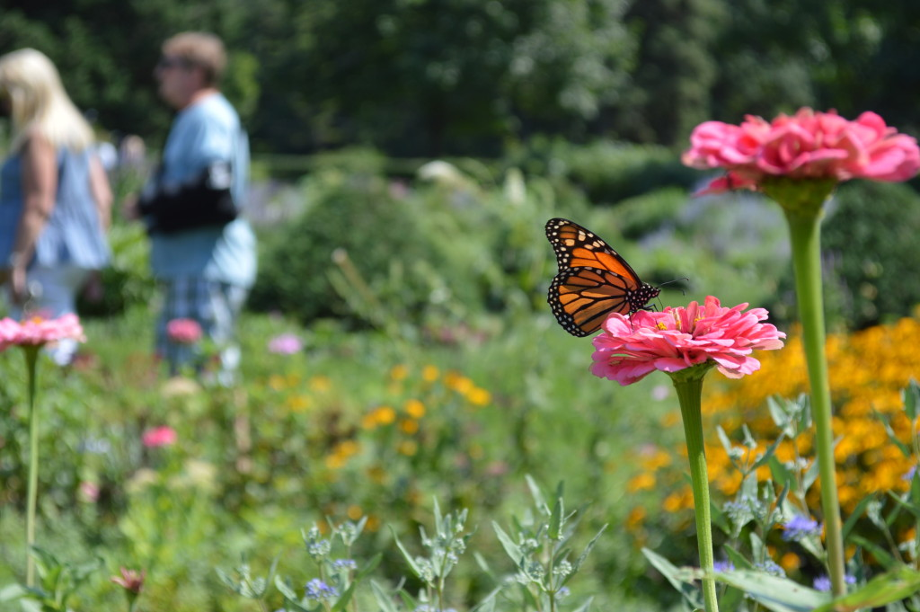 Monarchs could also be found in the formal gardens during the 2015 Brucemore Garden & Art Show. (photo/Cindy Hadish)