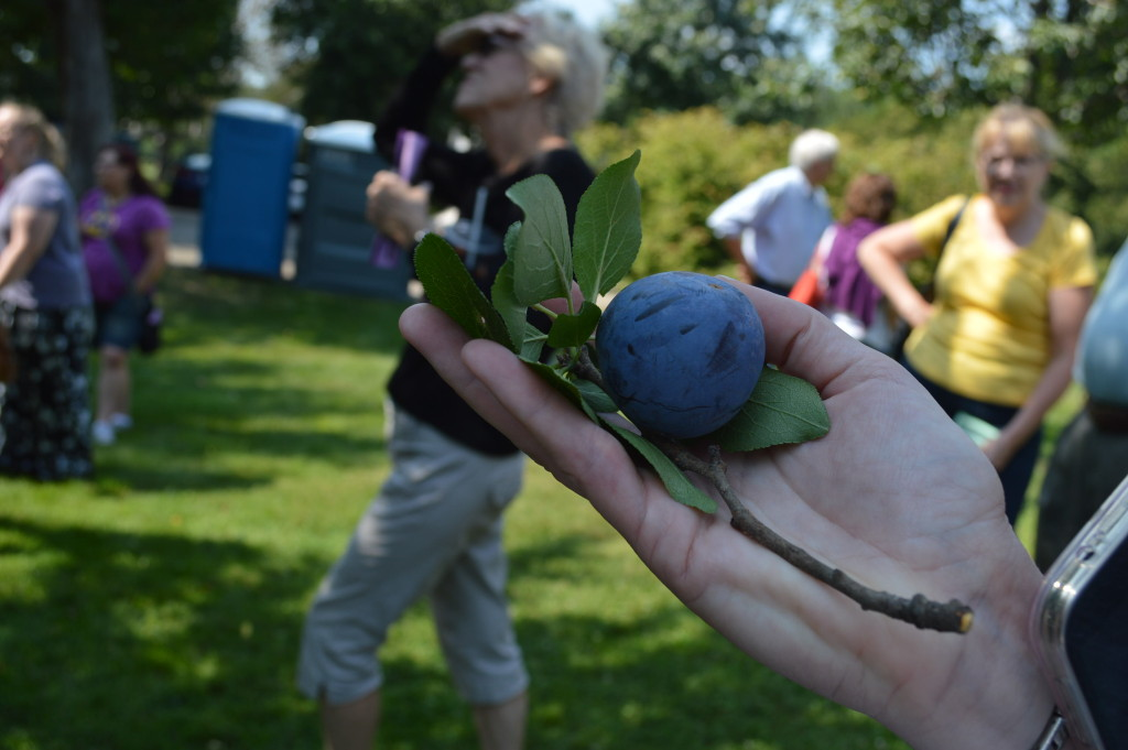Several lucky visitors were able to sample plums and other fruit from the Brucemore orchard during the 2015 Brucemore Garden & Art Show. Head Gardener David Morton noted that only one or two trees date back to the Douglas era in the orchard. (photo/Cindy Hadish)