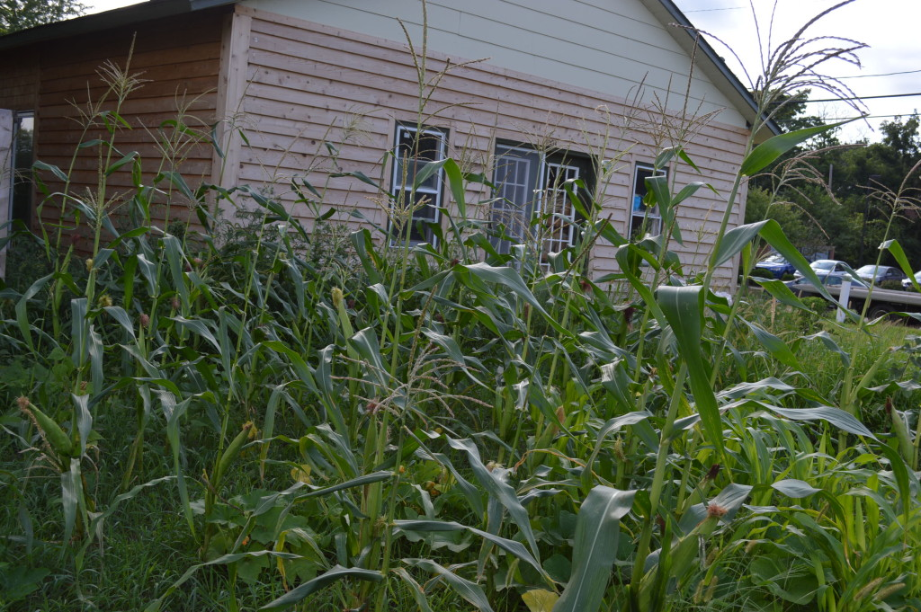 Corn grows at the site of Ed Thornton's new garden in southeast Cedar Rapids. Thornton was forced to remove his previous garden on vacant city-owned land. (photo/Cindy Hadish)