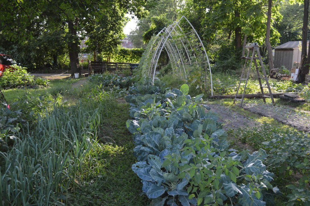 Brussels sprouts are among the multitude of vegetables thriving in Ed Thornton's garden in southeast Cedar Rapids. (photo/Cindy Hadish)