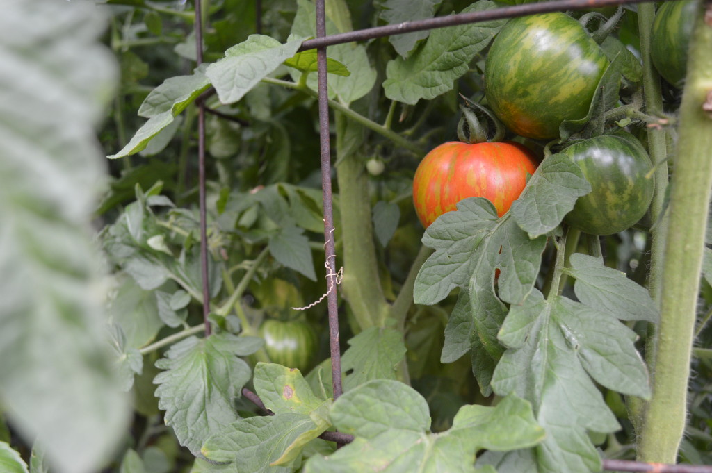 Striped heirloom tomatoes ripen on the vine at Ed Thornton's garden in southeast Cedar Rapids. Thornton gives away the produce grown there. (photo/Cindy Hadish)