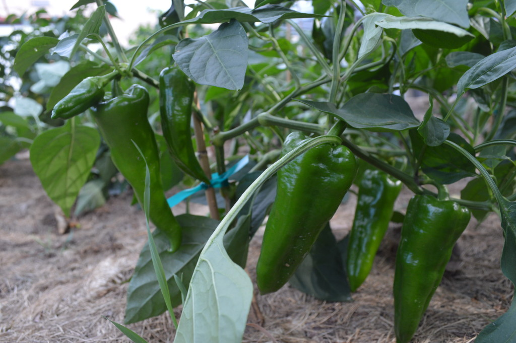 Produce is grown without chemicals, including these peppers, shown on Saturday, Aug. 8, 2015. (photo/Cindy Hadish)