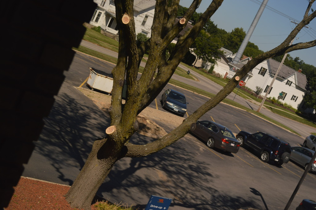 A tree that remains outside of the Trees Forever headquarters in Marion was severely pruned on Tuesday, Aug. 25, 2015. (photo/Cindy Hadish)