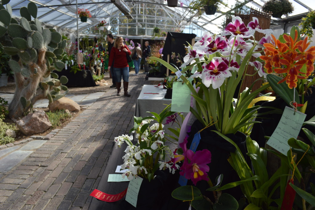 More than 500 blooming orchids are featured at the Eastern Iowa Orchid Show and Sale. The show continues on Sunday, Oct. 18, 2015, at the Noelridge Greenhouse. (photo/Cindy Hadish)