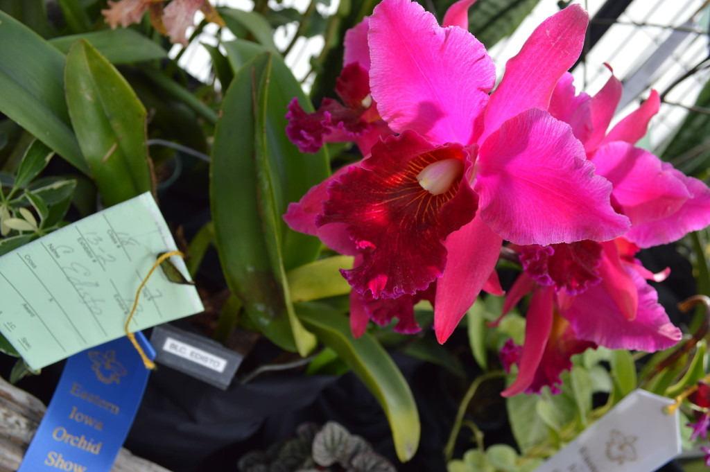 Other orchids at the show stood out with their color and size. (photo/Cindy Hadish)