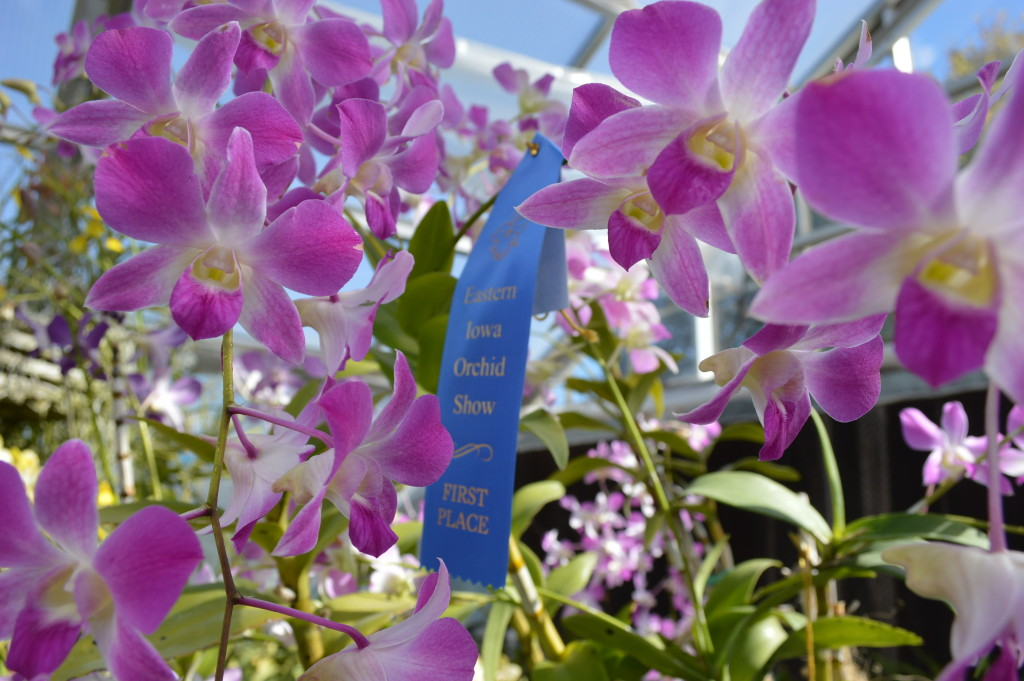 Ribbons were awarded in several categories at the Eastern Iowa Orchid Show and Sale. (photo/Cindy Hadish)
