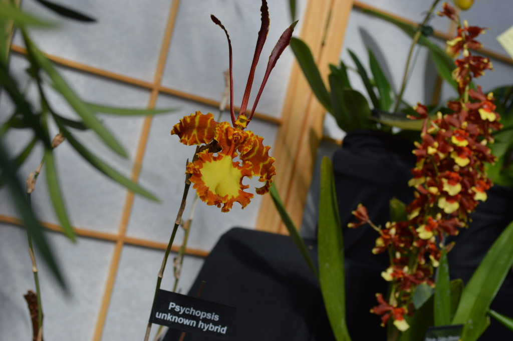 "Some orchids were more unusual than others, such as this one, labeled ""Psychopsis."" (photo/Cindy Hadish)"