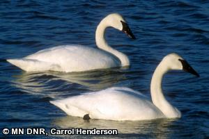 Trumpeter swan photo/Minnesota DNR, Carrol Henderson
