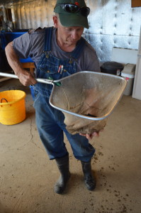 Farmer Jeff Hafner is shown with one of the tilapia at Early Morning Harvest. (photo/Cindy Hadish)