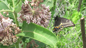 Milkweed and other plants used along the proposed Monarch Highway would also support habitats of other wildlife, including black swallowtail butterflies. (photo/Cindy Hadish)
