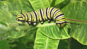 A monarch caterpillar munches its way along a milkweed plant, its sole food source. (photo/Cindy Hadish)