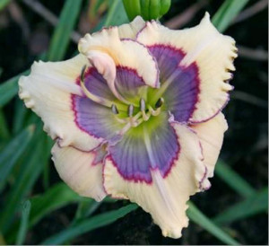 Daylily photo/Cedar Valley Iris and Daylily Society
