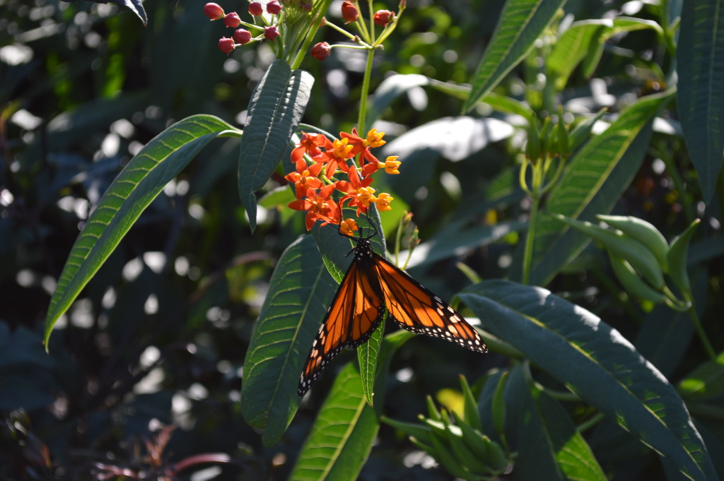 A monarch butterfly rests on a plant at Noelridge Park in Cedar Rapids, Iowa. (photo/Cindy Hadish)