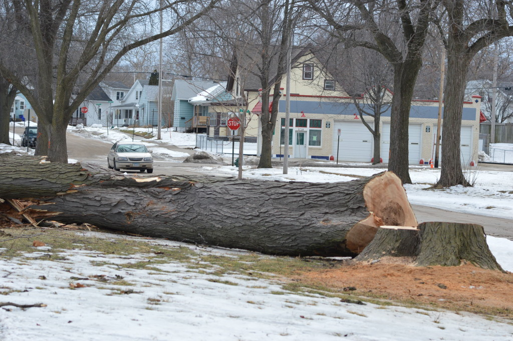 One of many sizable trees being removed from the Czech Village neighborhood is shown earlier in 2016. The city is having another 184 trees removed in the area this winter. (photo/Cindy Hadish)